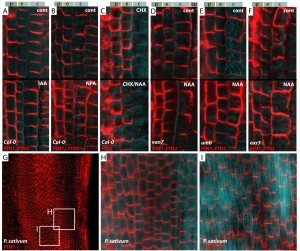 Photo: Canalization of auxin flow by Aux/IAA-ARF-dependent feedback regulation of PIN polarity Supplemental Research Data / http://genesdev.cshlp.org/content/20/20/2902/suppl/DC1